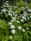Спирея Spiraea nipp. 'White Carpet'©
