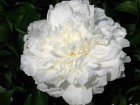 ���� paeonia shirley temple